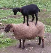 sheep_goat