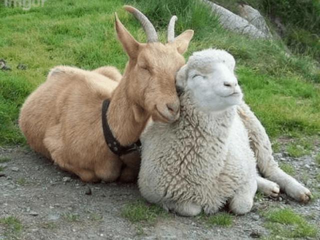 Ram, Goat